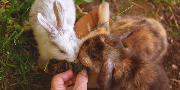 gezonde konijnen