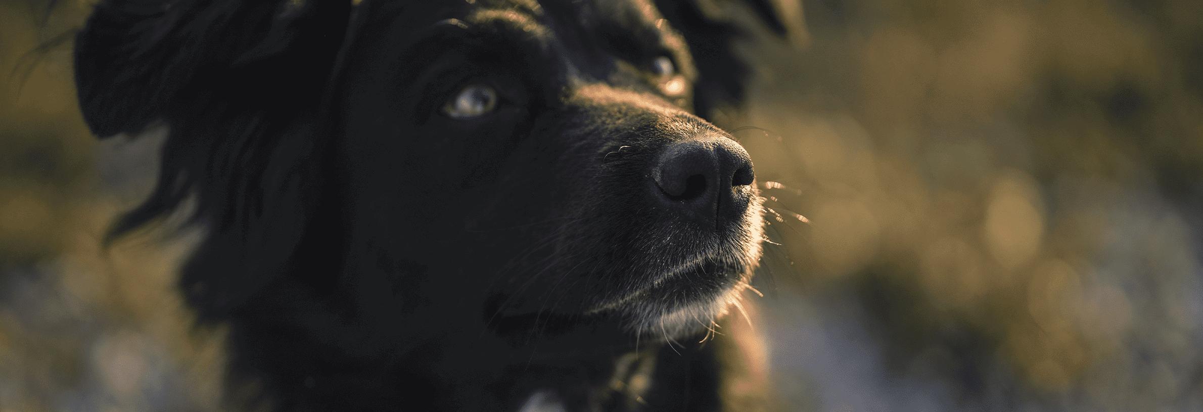 Neusuitvloeiing hond
