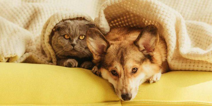 gebit huisdier