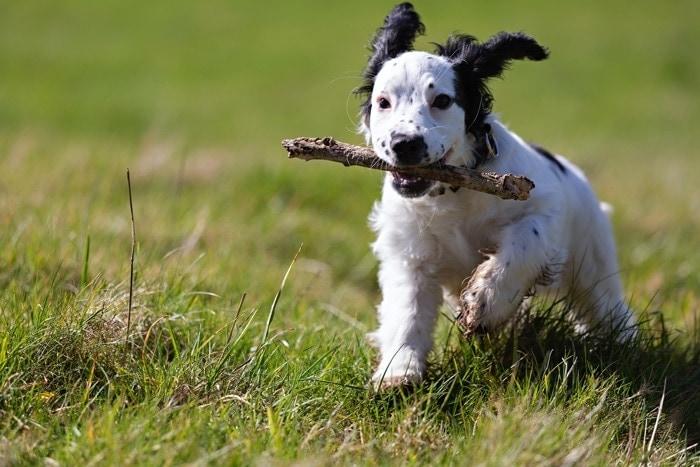hond kopen foto, puppy rent door gras met stok