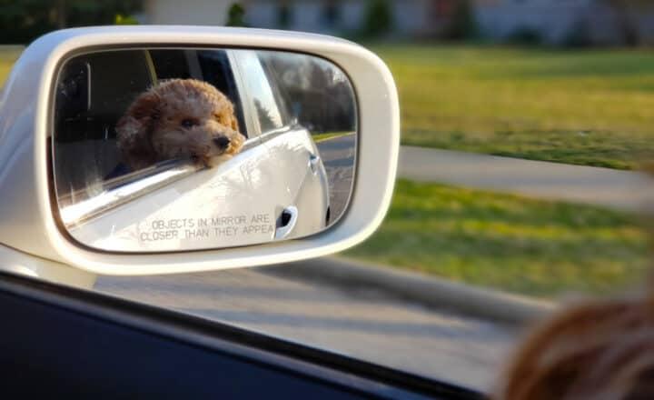 Hond wordt vervoerd in de auto