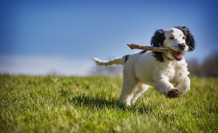 puppycursus uitgelichte afbeelding, pup speelt met stok