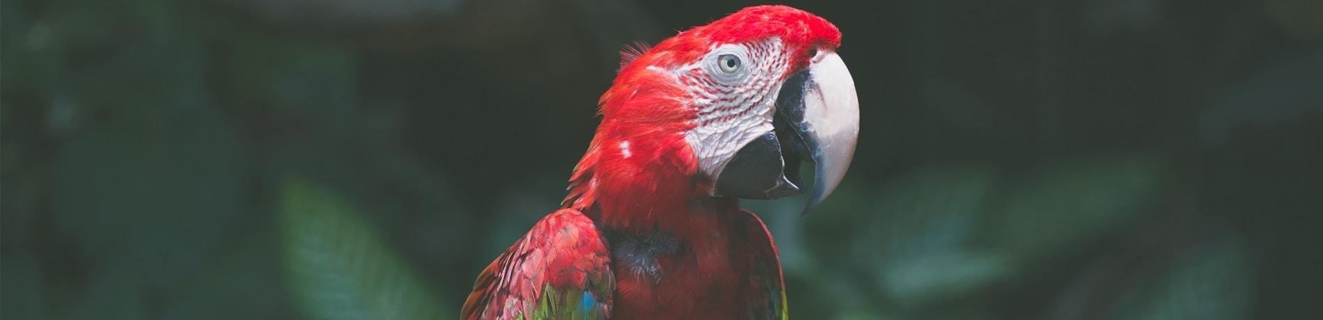 Hoe oud wordt een papegaai?