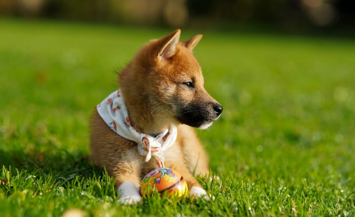 Hond geslachtsrijp