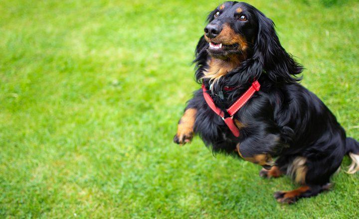 Hond springen afleren