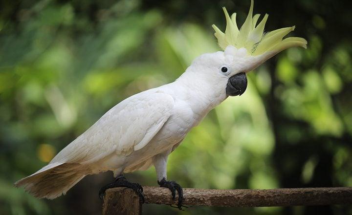 Witte papegaai op een tak