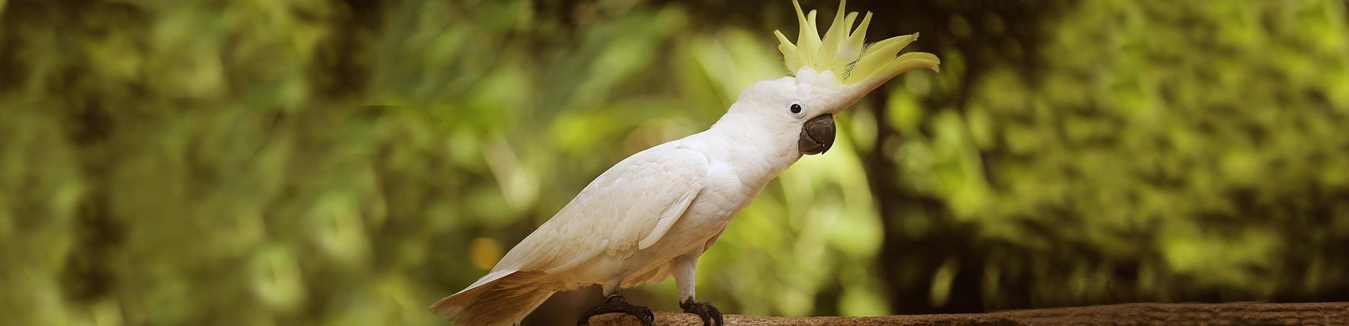 Papegaai leren praten