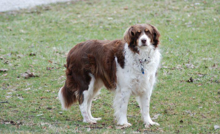 Hond piept in het gras