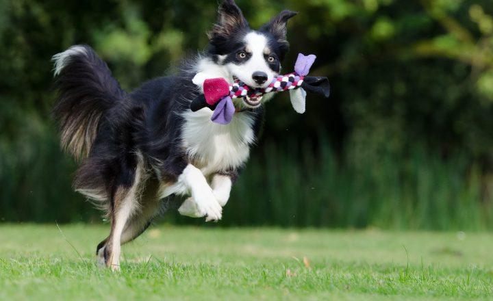 puppy spelen met andere honden