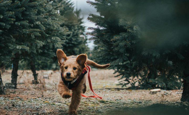 kerstboom giftig voor hond