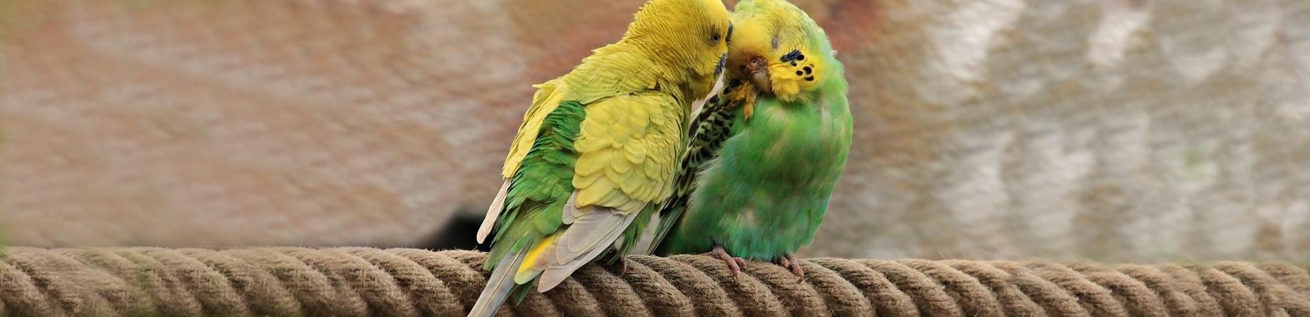 hoe maak je een papegaai tam