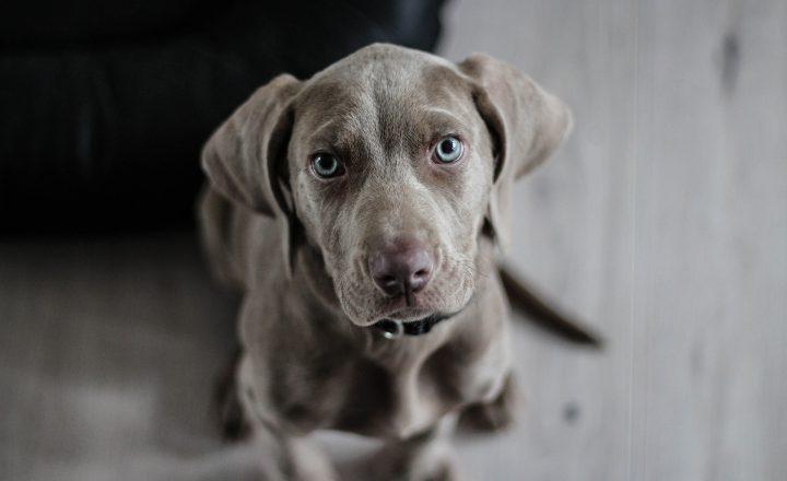 suikerziekte hond