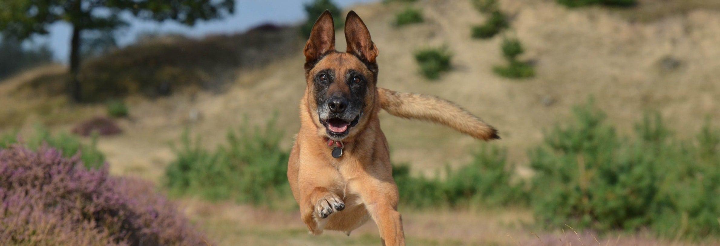hardlopen hond