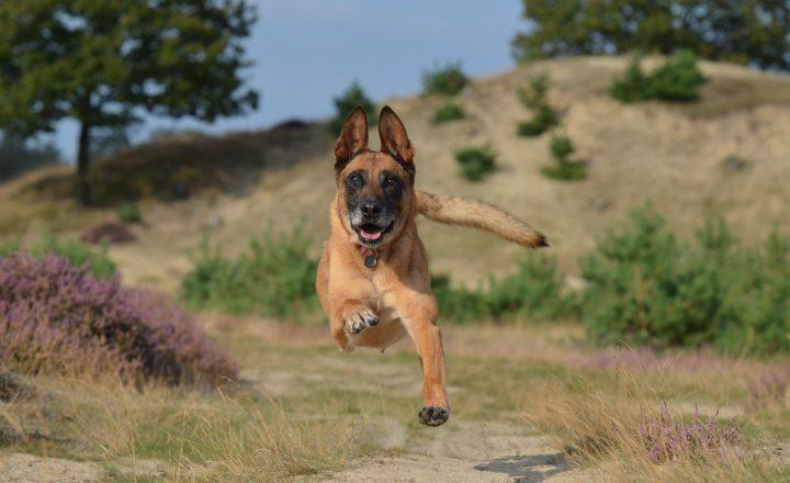 hardlopen met hond