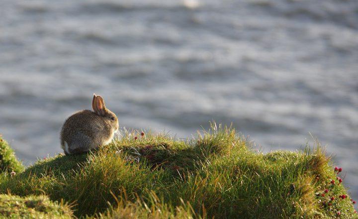myxomatose konijn