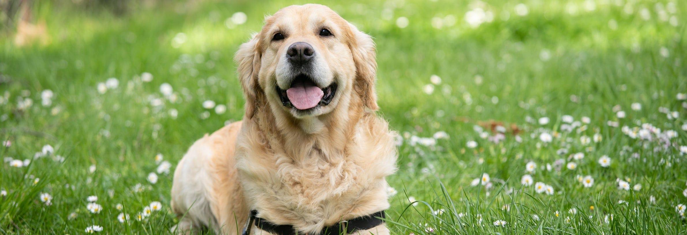hooikoorts hond