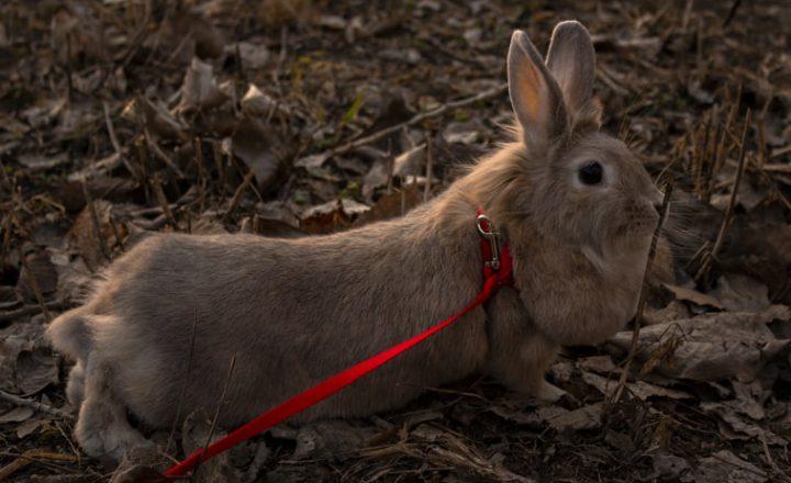 konijn uitlaten
